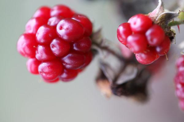 Sammelsteinfrucht
