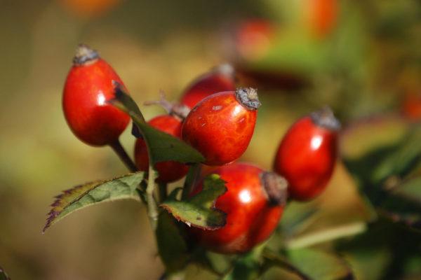 Sammelnussfrucht
